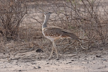 Arabian Bustard at Aledeghe Plains:Nick Bray