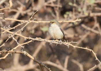 Mouse-coloured Penduline-Tit:Nick Bray