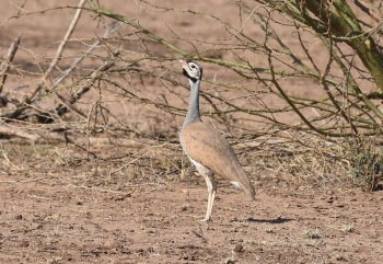 White-bellied Bustard:Nick Bray