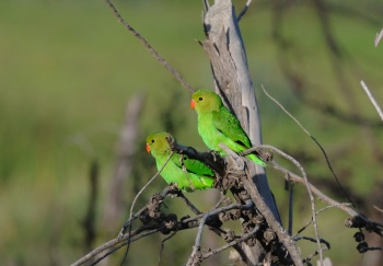 Black-winged Lovebird:Nick Bray