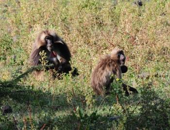 Gelada Baboon:Nick Bray