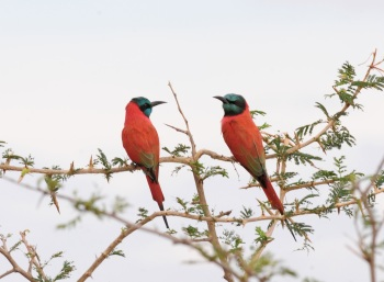 Northern Carmine Bee-eaters:Nick Bray