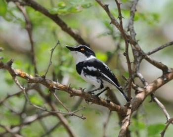 Pygmy Batis:Nick Bray