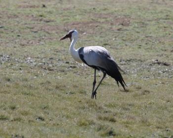 Wattled Crane:Nick Bray