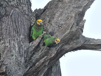 Yellow-fronted Parrot:Nick Bray