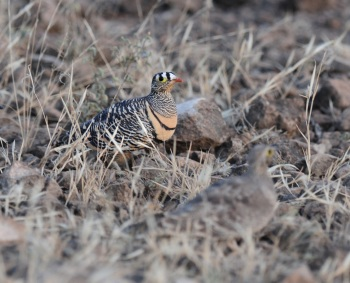 Lichtensteins Sandgrouse:Nick Bray