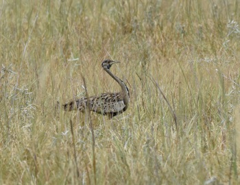 Black-bellied Bustard:Nick Bray