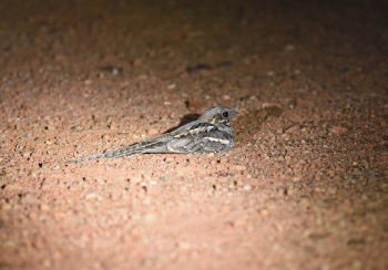 Long-tailed Nightjar:Nick Bray