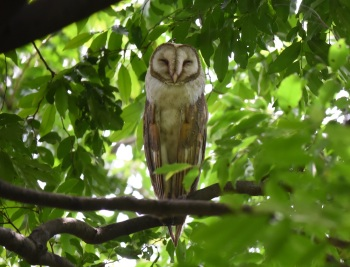 Western Barn Owl:Nick Bray