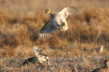 Sharp-tailed Grouse by Kim Risen