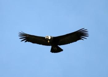 Andean Condor by Luis Segura