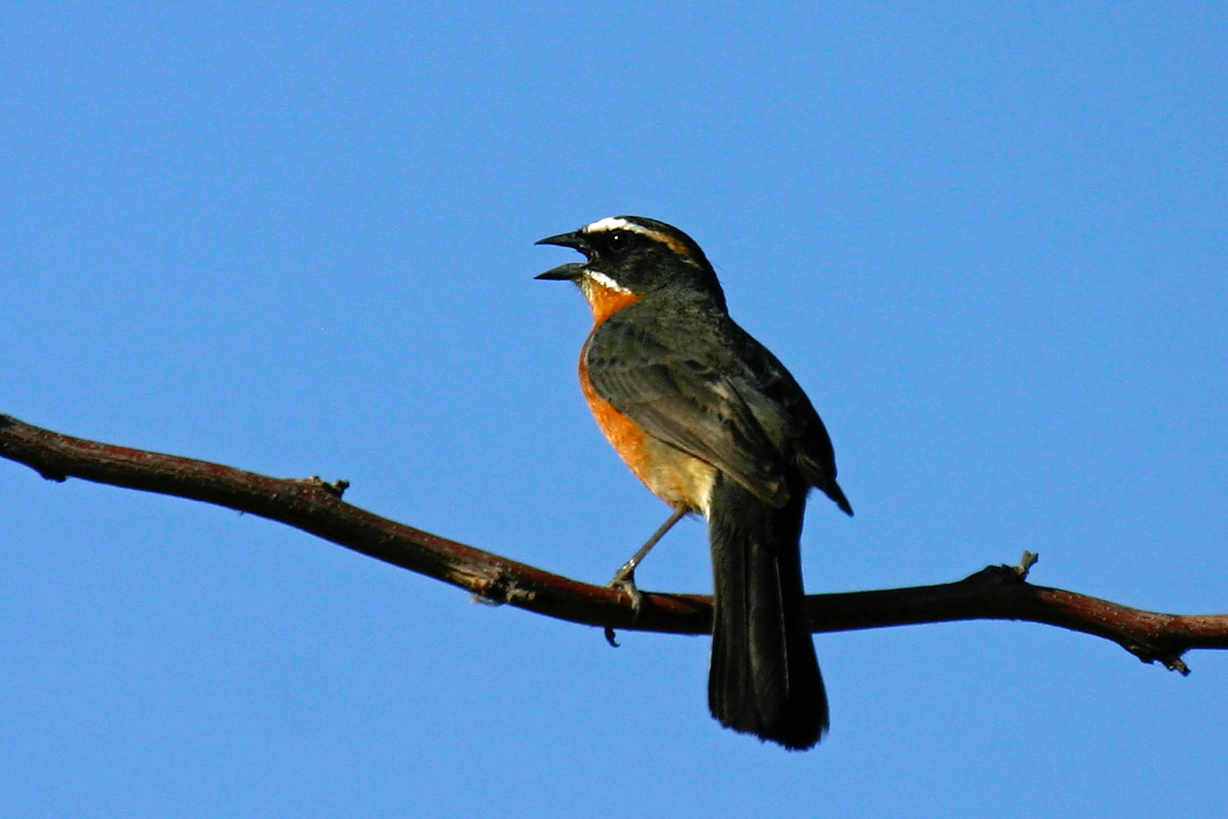 black-and-rufous warbling-finch