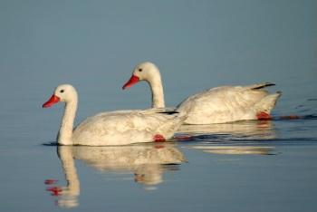 Cosocoroba Swan by Pablo Petracci