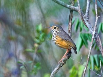 White-browed Antpitta by Ciro Albano