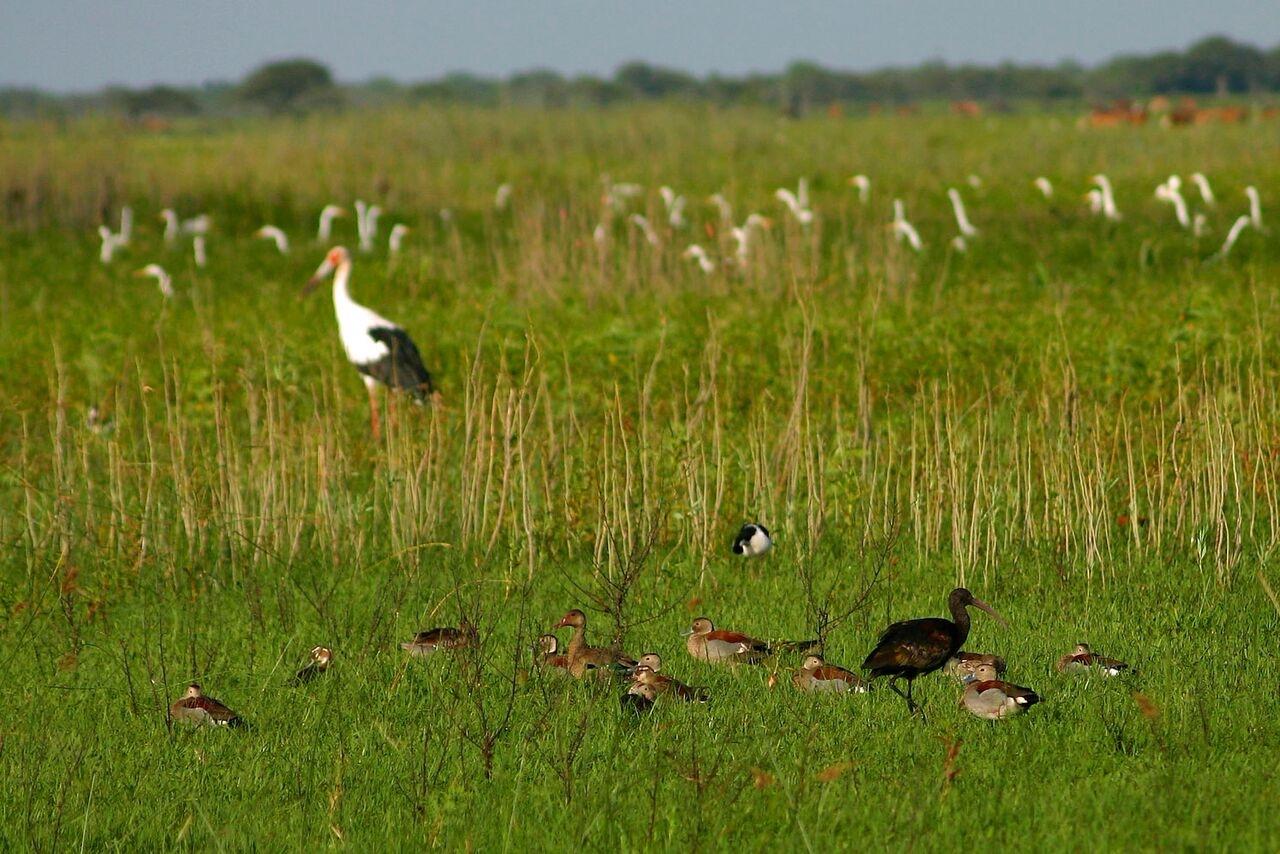 Pampas grassland