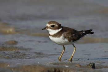 Semipalmated Plover by Luis Segura