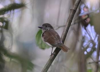 Sumba Warbling-flycatcher by Nick Bray