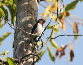 Black-fronted Flowerpecker (Flores) by Nick Bray