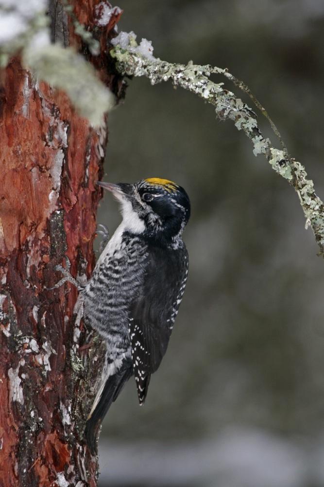 American Three-toed Woodpecker, Alaska by Kim Risen