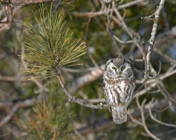 Boreal Owl, Alaska by Kim Risen