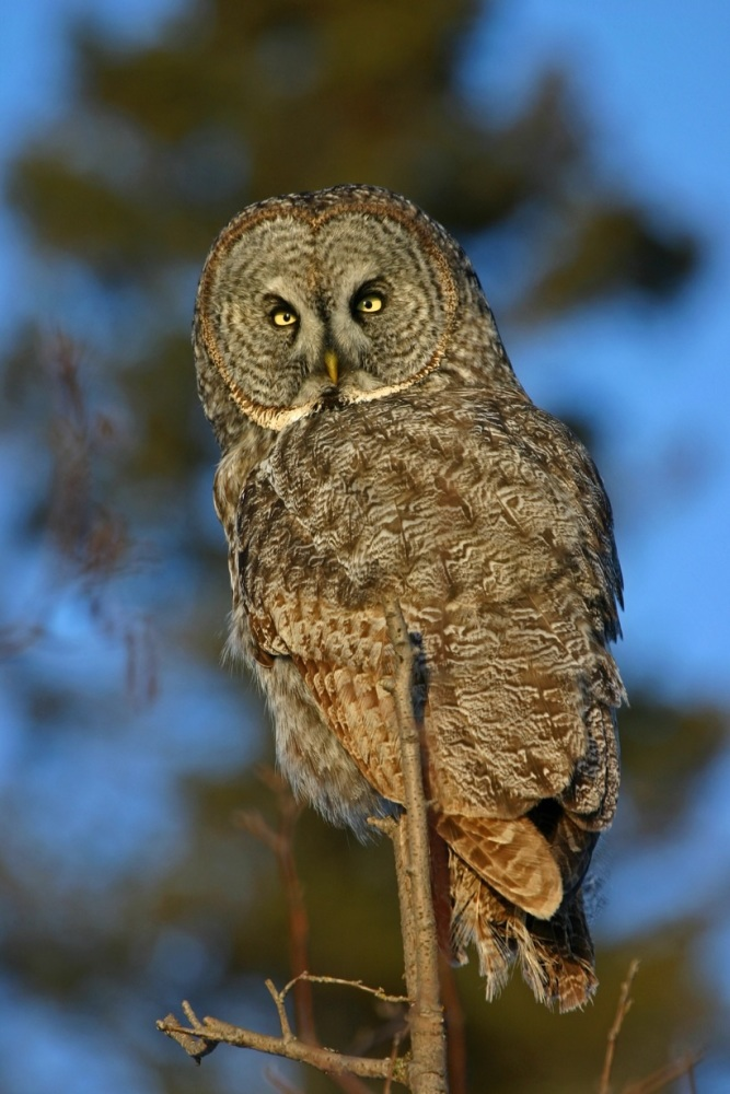 Great Grey owl, Alska by Kim Risen