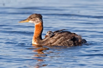 Red-necked Grebe, Alaska by Kim Risen
