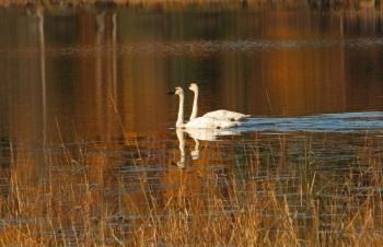 Trumpeter Swan, Alaska by Kim Risen