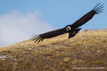 Andean Condor by Rodrigo Tapia