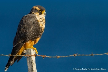 Aplomado Falcon by Rodrigo Tapia
