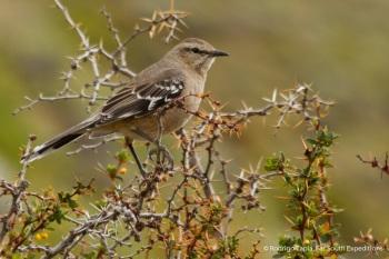 Patagonian Mockingbird by Rodrigo Tapia