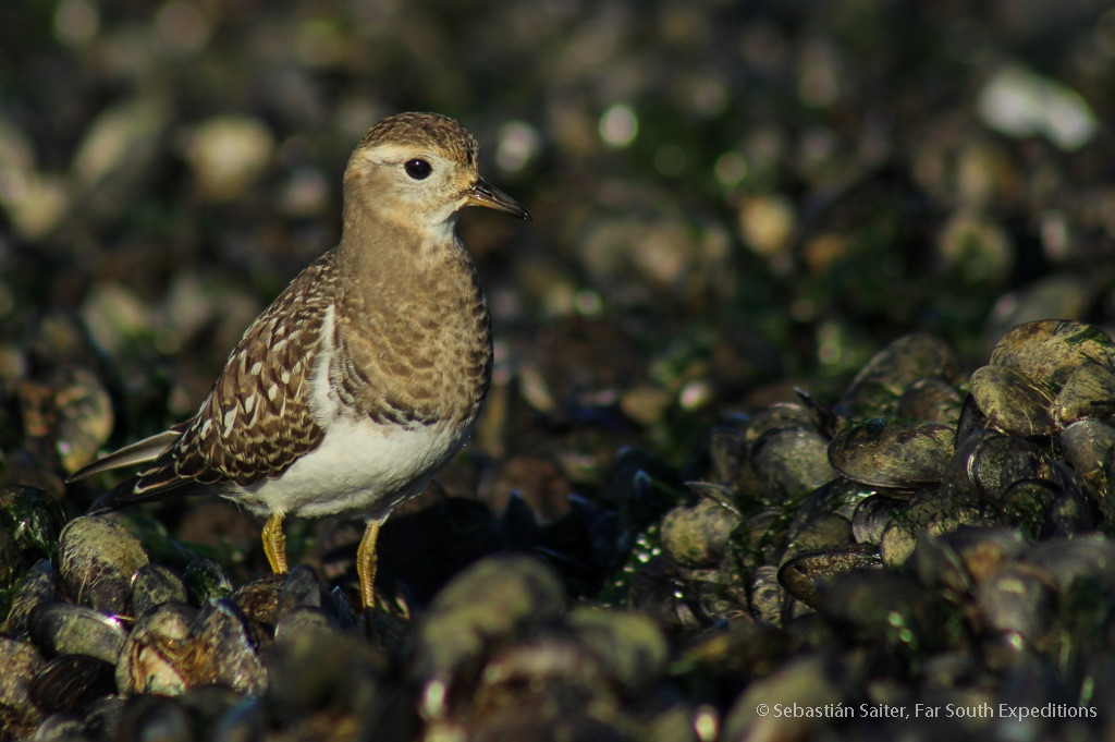 rufoud-chested dotterel