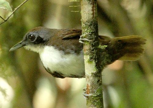 Bicloured Antbird