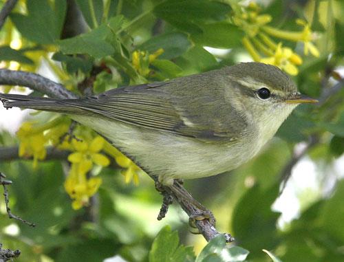 Greenish Warbler