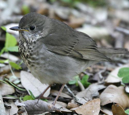 Grey-cheeked Thrush
