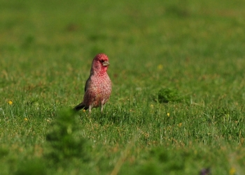 Spotted Great Rosefinch 3
