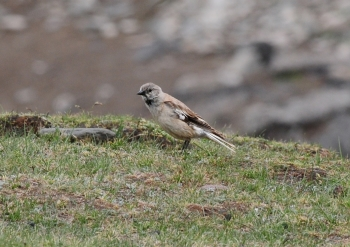 Black-winged Snowfinch 1
