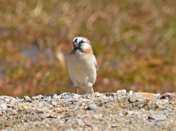 Blanfords Snowfinch by Nick Bray