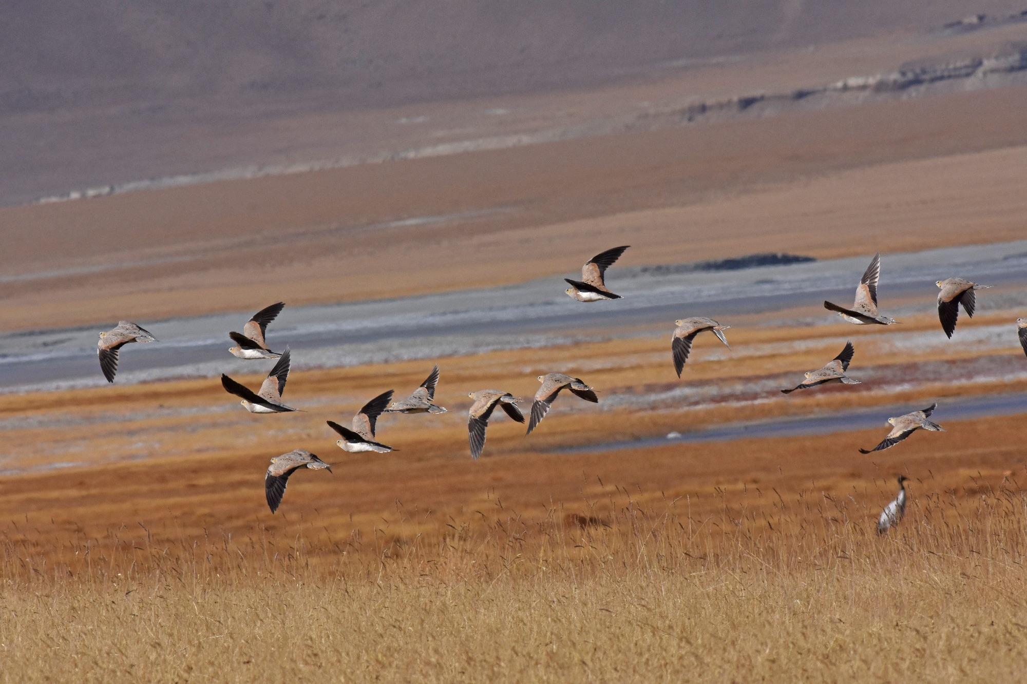 Tibetan Sandgrouse at Tso Kar Lake