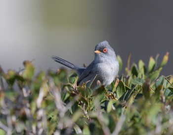 Balearic Warbler 2 - Balearic Islands Spring Tour 2018 by Nick Bray_00019