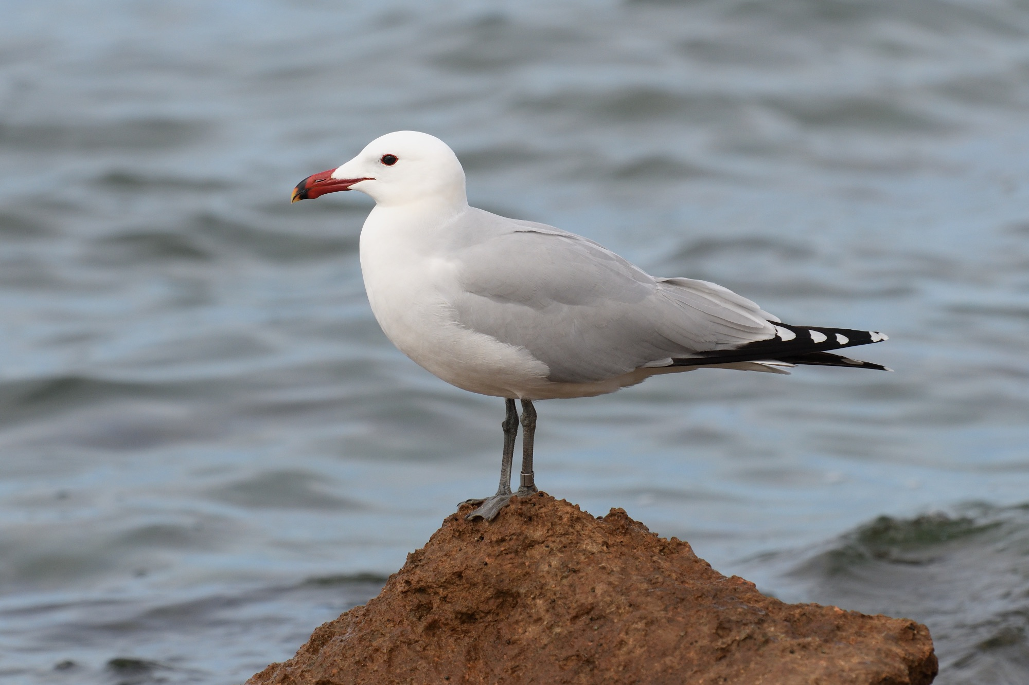 Audouin's Gull copyright Nick Bray