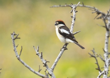 Balearic Woodchat Shrike (Badius race) 2 - Ibiza 2018 by Nick Bray_00002