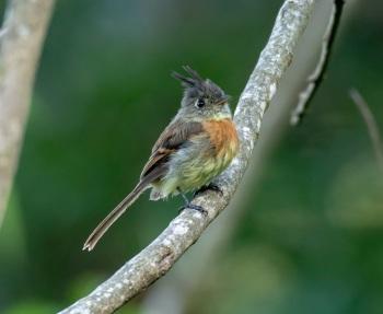 Belted Flycatcher - Guatemala