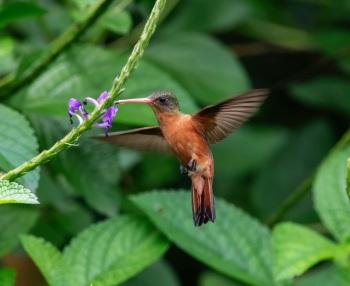 Cinnamon Hummingbird - Guatemala