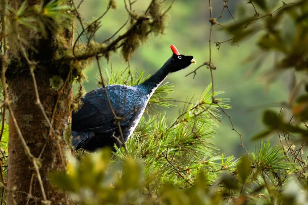 Horned Guan - Guatemala