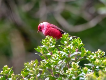 Pink-headed Warbler - Guatemala