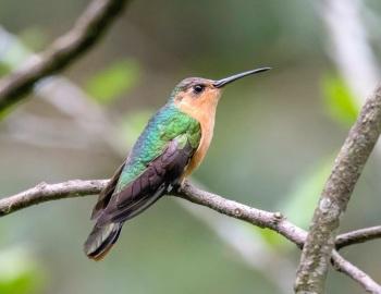 Rufous Sabrewing - Guatemala