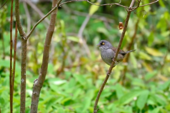 Yellow-eyed Junco - Guatemala