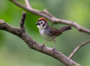 White-faced (Prevosts) Ground-Sparrow - Guatemala