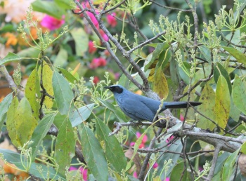 Blue Mockingbird - West Mexico 2017 by Nick Bray