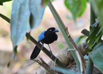San Blas Jay 1 - Puerto Vallarta Botanical Gardens 2017 by Nick Bray
